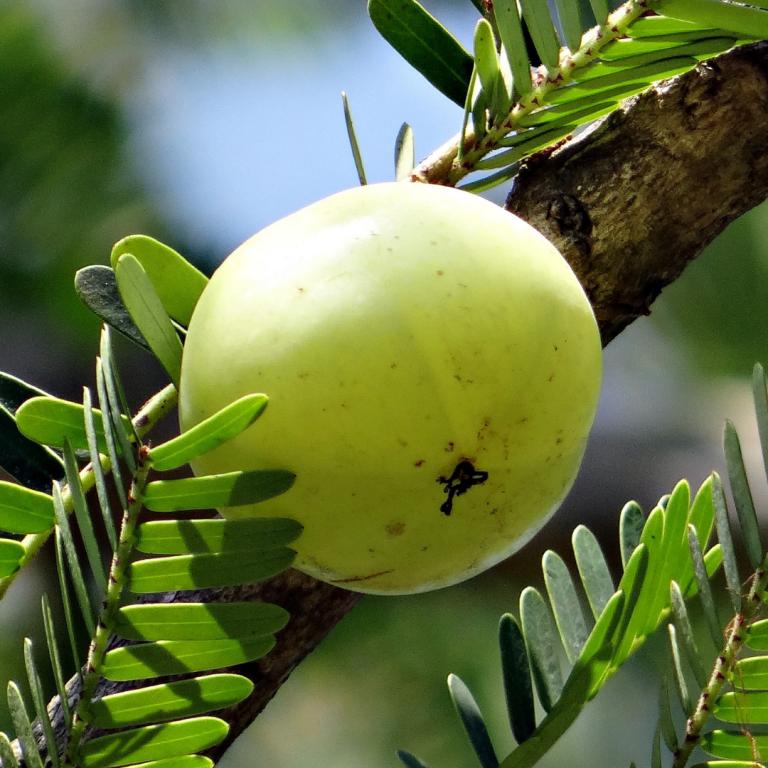 Indisk stikkelsbær – et mirakelbær?